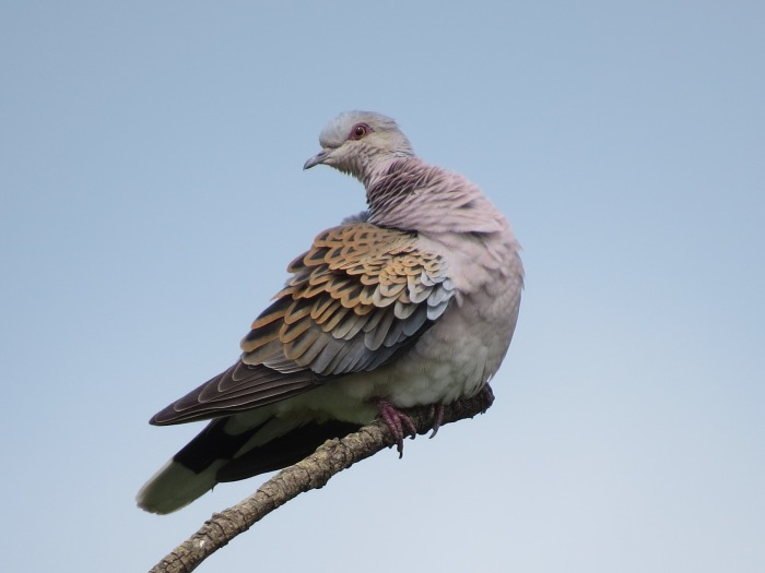Turtle Dove, Harrington AF, 1st June 2014 (Simon Hales)