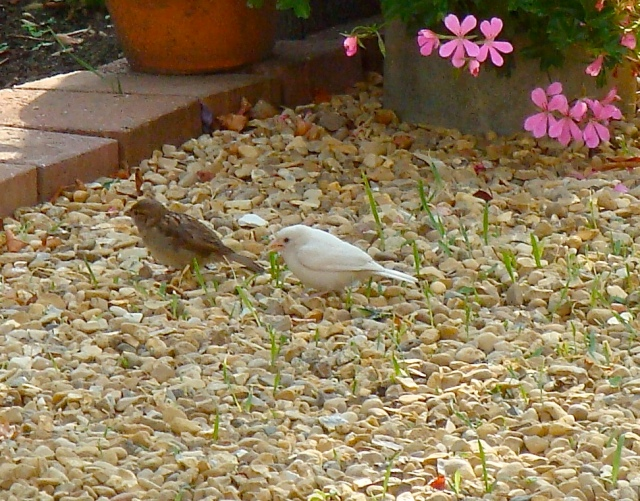 'Albino' House Sparrow, Easton on the Hill, July 2014 (Jeff Davies)