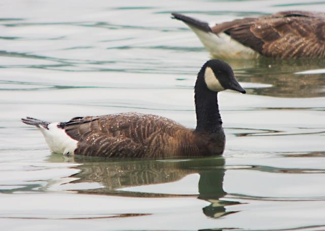 Cackling Goose Branta hutchinsii minima, Daventry CP 13th July 2014 (Mike Alibone)