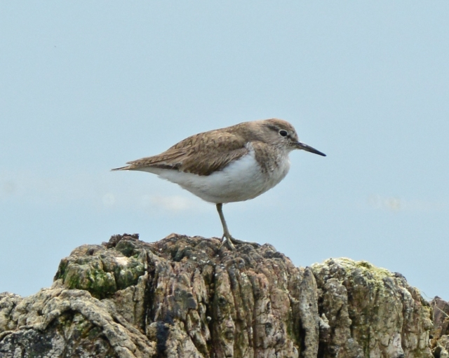 Common Sandpiper, Pitsford Res, 20th July 2014 (Clive Bowley)