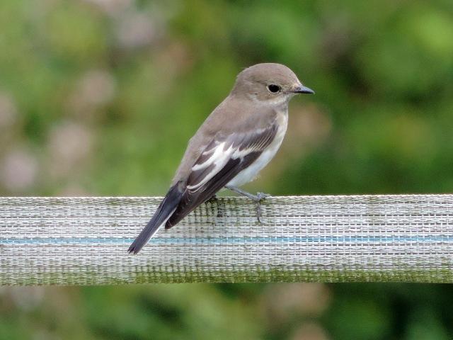 First-winter Pied Flycatcher, Denton Wood, 27th July 2014 (Steve Brayshaw)