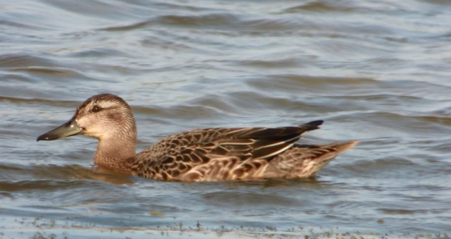 Garganey, Summer Leys LNR, 25th July 2014 (Mike Alibone)