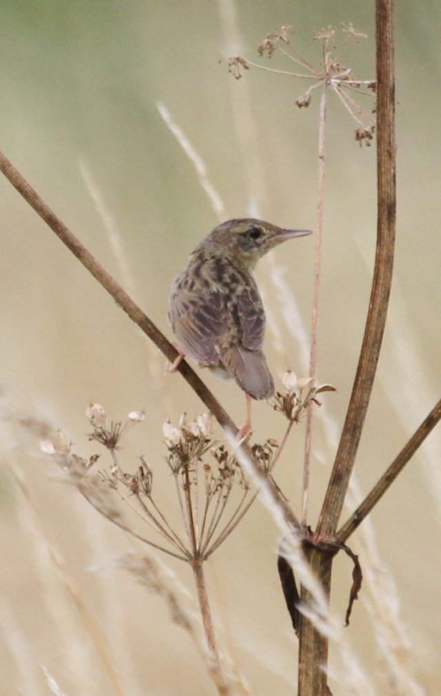 Grasshopper Warbler, Earls Barton GP, 20th July 2014 (Alan Coles)