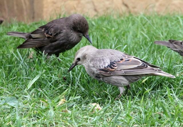Leucistic juvenile Starling, Kettering, 5th July 2014 (Phil Jackman)