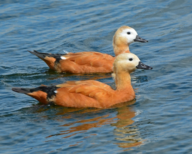 Ruddy Shelducks, Pitsford Res, 3rd July 2014 (Clive Bowley)