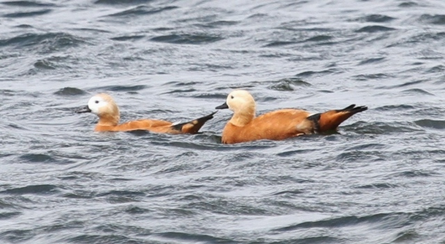 Ruddy Shelducks, Pitsford Res, 4th July 2014 (Alan Coles)