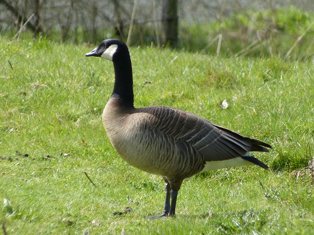 Taverner's Cackling Goose, Foxholes Fisheries, Crick, 23rd April 2012 (Joan Chaplin)