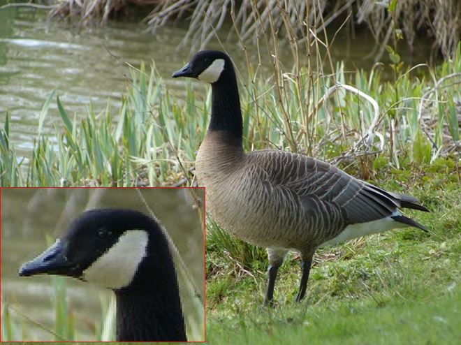 Taverner's Cackling Goose, Foxholes Fisheries, Crick, 23rd April 2012 (Joan Chaplin). The broken throat line is just visible.