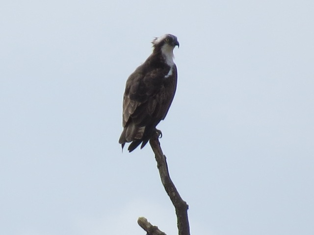 Adult Osprey, near Hollowell Res, 24th August 2014 (Simon Hales)