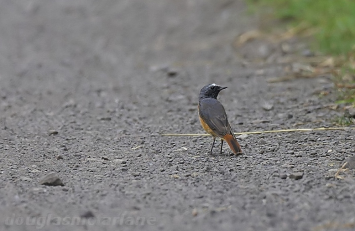 Common Redstart, Chapel Brampton, 26th JUly 2014 (Douglas McFarlane)