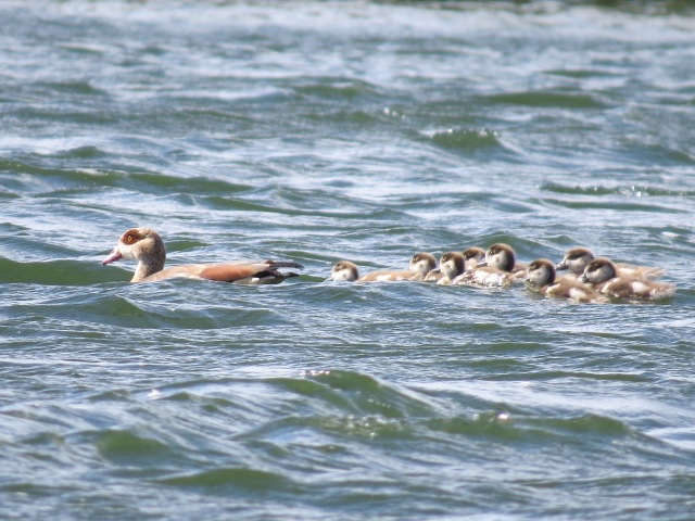 Egyptian Geese, Ditchford GP, 17th August 2014 (Simon Hales)