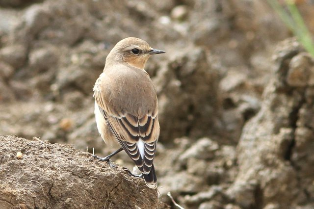 First-winter Northern Wheatear, Bozeat GP, 28th August 2014 (Bob Bullock)