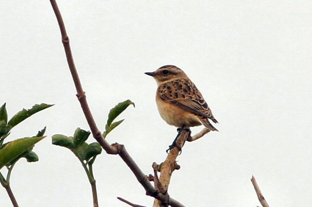 First-winter Whinchat, Bozeat GP, 28th August 2014 (Bob Bullock)