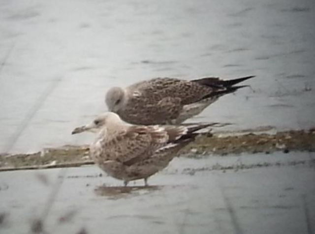 Juvenile Caspian Gull, Stanwick GP, 27th August 2014 (Steve Fisher)