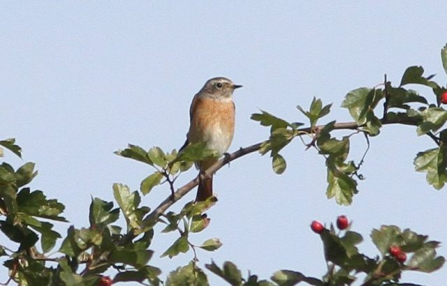 Male Redstart, Blueberry Farm, Maidwell, 24th August 2014 (Bob Bullock)