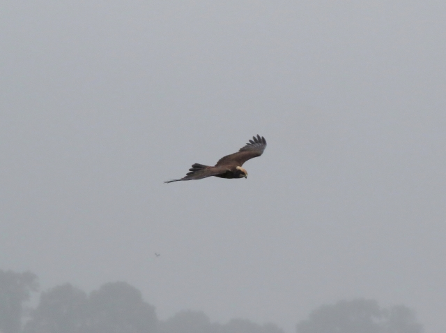 Marsh Harrier, Summer Leys LNR, 26th August 2014 (John Friendship-Taylor)