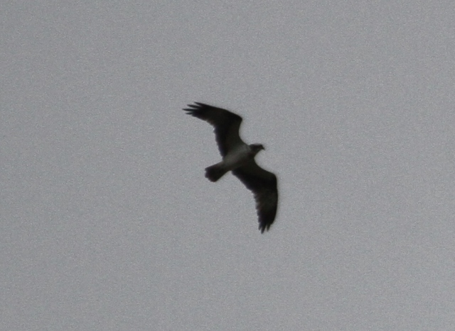 Osprey, Hollowell Res, 22nd August 2014 (Alan Coles)