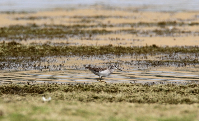 Wood Sandpiper, Hollowell Res, 26th July 2014 (Derek Hales)