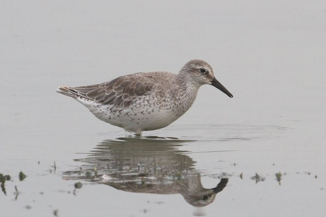 Adult Knot, Clifford Hill GP, 5th September 2014 (Bob Bullock)