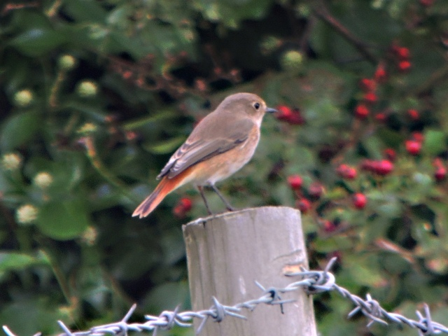First-winter Common Redstart, Clifford Hill GP, 5th September 2014 (Mike Alibone)
