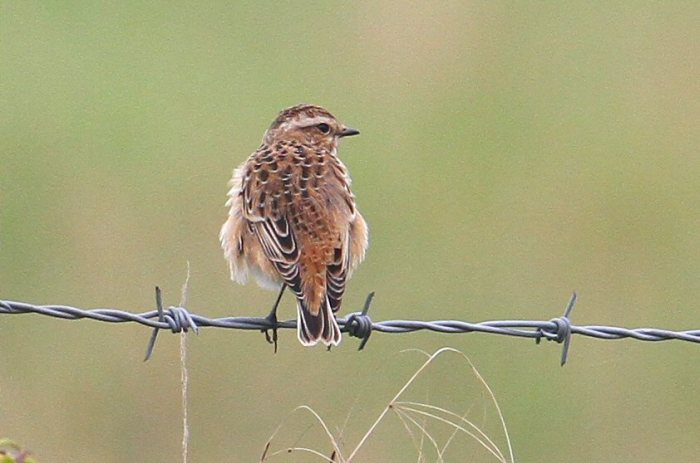 First-winter Whinchat, Clifford Hill GP, 5th September 2014 (Bob Bullock)
