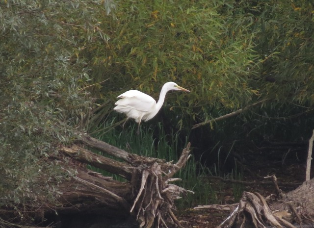 Great White Egret, Pitsford Res, 14th September 2014 (Simon Hales)