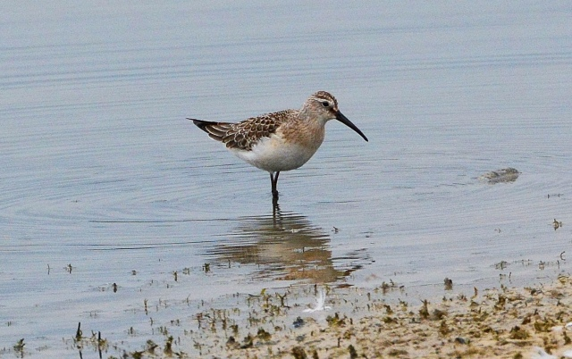 Juvenile Curlew Sandpiper, Pitsford Res, 15th September 2014 (John Moon)