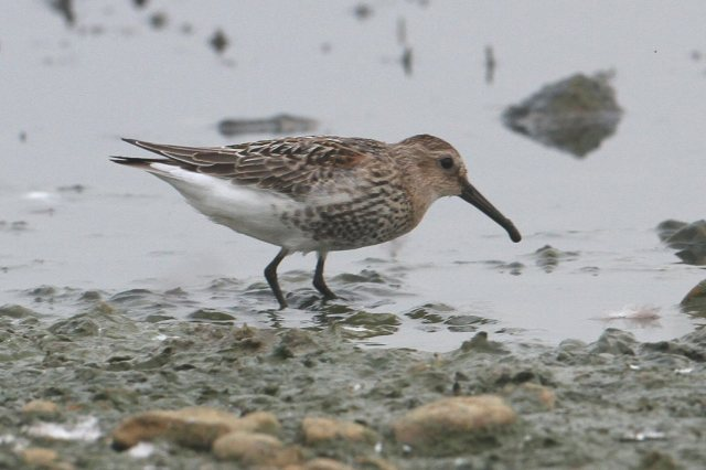 Juvenile Dunlin, Clifford Hill GP, 5th September 2014 (Bob Bullock)