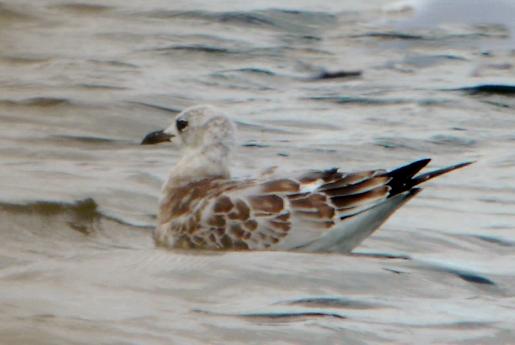 Juvenile Mediterranean Gull, Pitsford Res, 31st August 2014