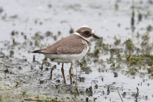 Juvenile Ringed Plover, Clifford Hill GP, 5th September 2014 (Bob Bullock)