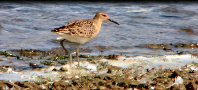 Juvenile Ruff, Pitsford Res, 31st August 2014 (Mike Alibone)