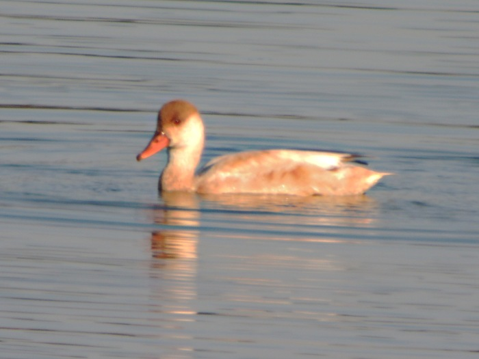 leucistic Red-crested Pochard, Clifford Hill GP, 8th September 2014 (Mike Alibone)