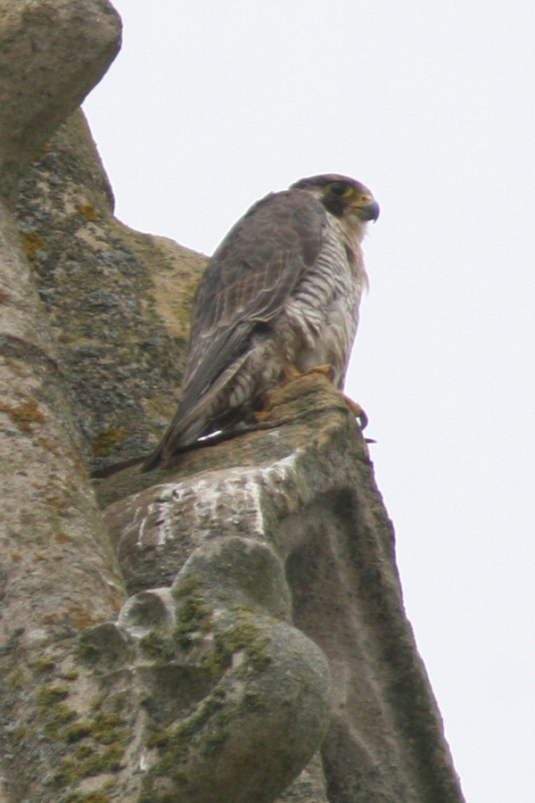 Peregrine, Northamptonshire Nene Valley, 4th September 2014 (John Broadbent)