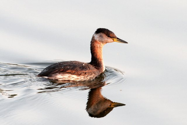 Red-necked Grebe, Daventry CP, 10th September 2014 (Bob Bullock)