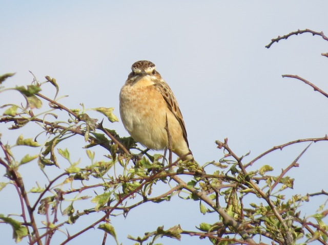 Whinchat, Harrington AF, 7th September 2014 (Simon Hales)