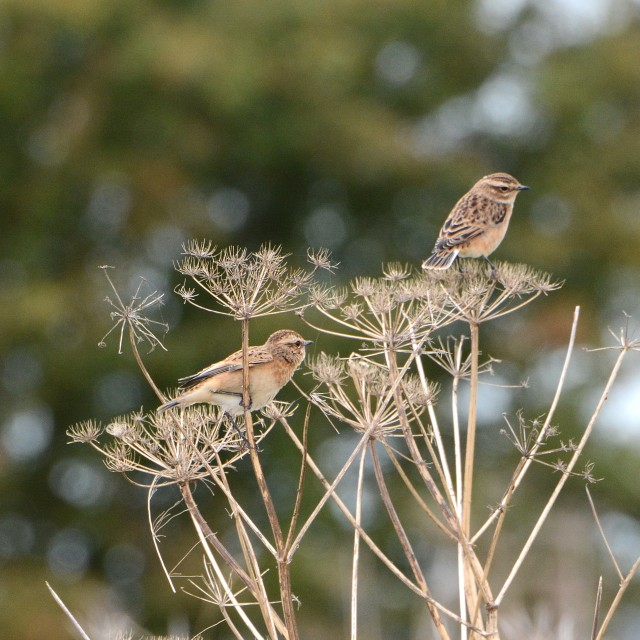 Whinchats, Harrington AF, 30th August 2014 (John Moon)