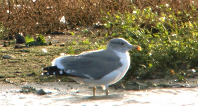 Adult'Azorean Gull, Stanwick GP, 21st October 2014 (Mike Alibone)