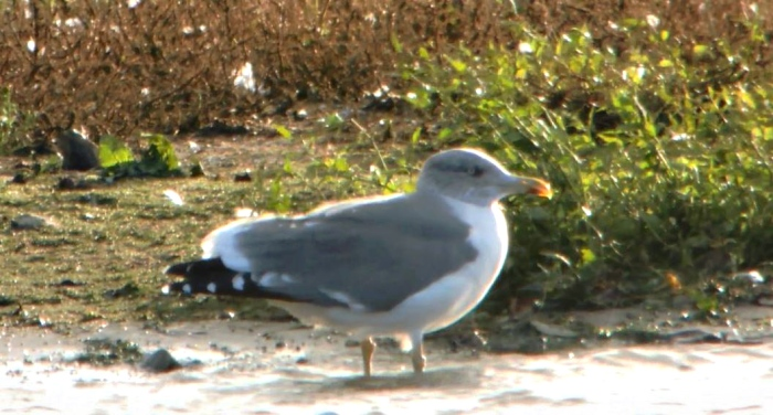 Apparent adult 'Azorean' Gull, Stanwick GP, 21st October 2014 (Mike Alibone)