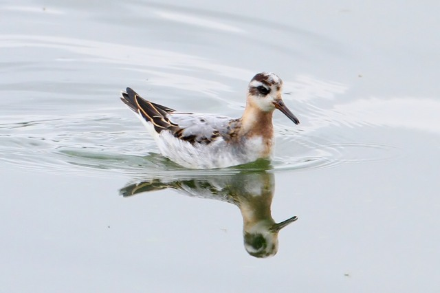 First-winter Grey Phalarope, Pitsford Res, 15th October 2014 (Bob Bullock)