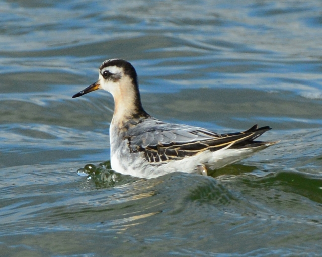 First-winter Grey Phalarope, Pitsford Res, 16th October 2014 (Clive Bowley)