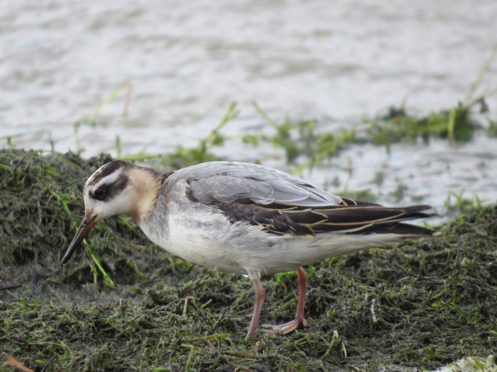 First-winter Grey Phalarope, Pitsford Res, 19th October 2014 (Simon Hales)