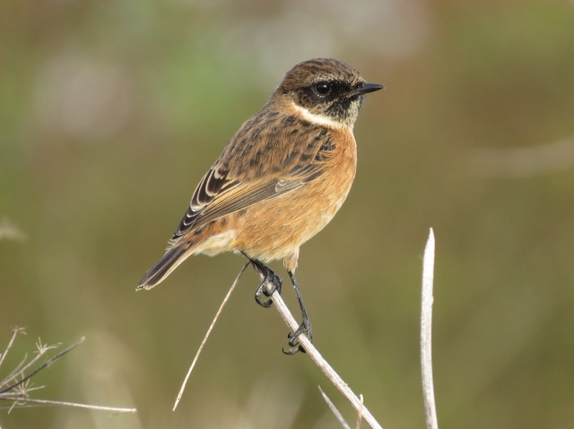 First-winter male Stonechat, Harrington AF, 5th October 2014 (Simon Hales)