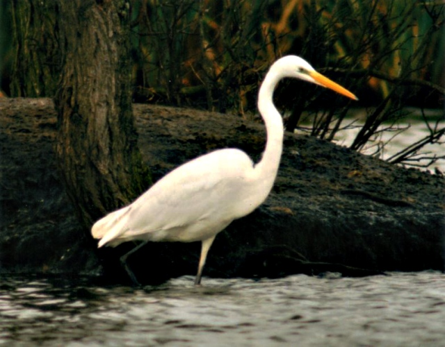 Great White Egret, Billing Aquadrome, November 1997 (Keith Stone)