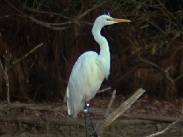 Great White Egret, Pitsford Res, 1tth October 2014 (Adrian Borley)
