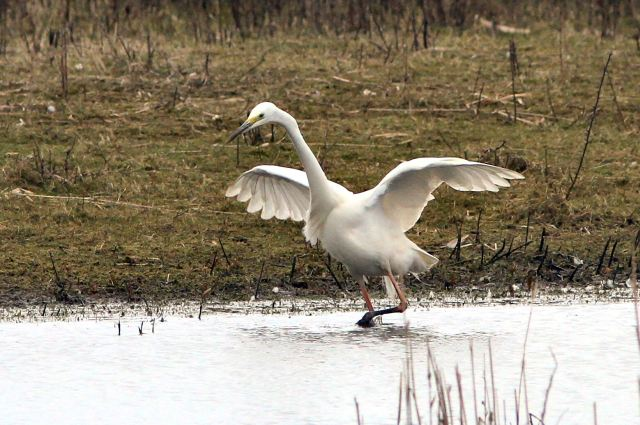 Great White Egret, Summer Leys, 28th March 2013 (Bob Bullock). Note signs of breeding condition - mainly dark bill and pinkish legs.