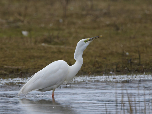 Great White Egret, Summer Leys, 28th March 2013 (Douglas McFarlane). Same individual as above.