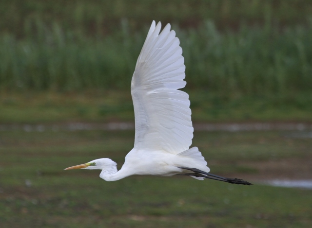 Great White Egret, Summer Leys LNR, 22nd September 2014 (Alan Coles)