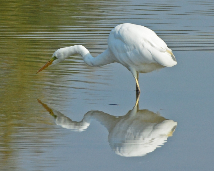 Great White Egret, Summer Leys LNR, 22nd September 2014 (Clive Bowley)