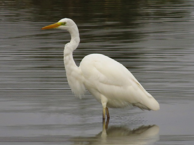 Great White Egret, Summer Leys LNR, 27th September 2014 (Simon Hales)