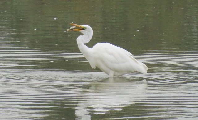 Great White Egret, Summer Leys LNR, 29th September 2014 (Martin Dove)